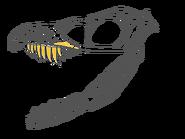 Sinornithosaurus Skull