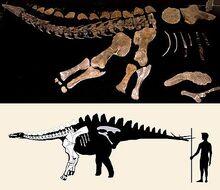 Miragaia holotype