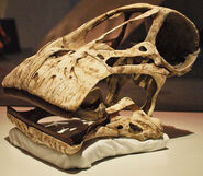 https://commons.wikimedia.org/wiki/File:August_1,_2012_-_Cast_Skull_of_a_Nigersaurus_taqueti_on_Display_at_the_Royal_Ontario_Museum_(Cast_of_MNN_GAD512)