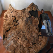 Stupendemys giant shell fossil