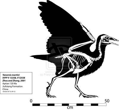 Yanornis skeleton by franz josef73-d5q59u7