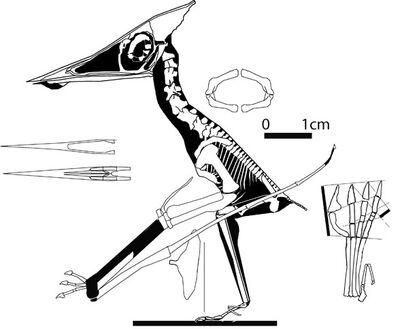 Nemicolopterus-588