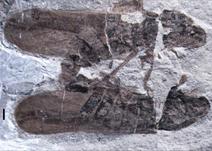 Fossil of mating Anthoscytina perpetua