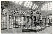 Mounted-skeleton-of-diplodocus2