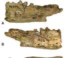 Thylacinus megiriani