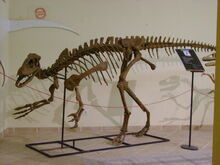 Lourinhanosaurus at the museum