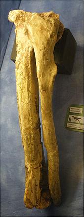 170px-Abelisaurid tibia and fibula-1