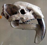 ThylacosmilusSkull