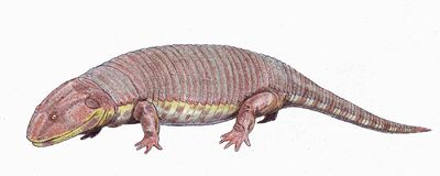 Peltobatrachus1DB