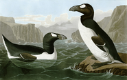 Great Auks from The Birds of America