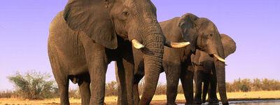 Elephants 8.1.2012 hero and circle SCR 48342