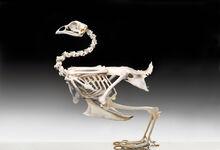 Chicken-Skeleton