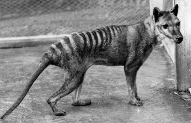 tigre da tasmânia wiki pre historia fandom powered by wikia