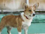 Bentley the Corgi