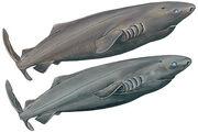 15-PACIFIC-SLEEPER-SHARK