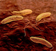 Vibrio cholerae DEADLY