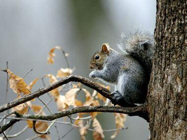 Gray-squirrel