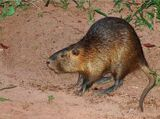Crock-Pot Nutria