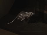 Обученная крыса