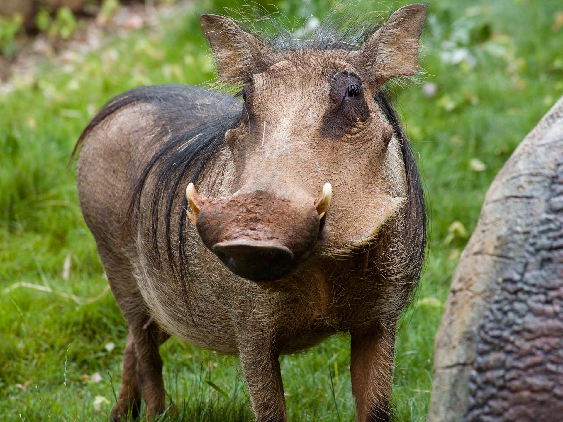 Common Warthog Disney Animals Wiki Fandom