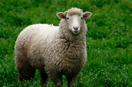 Domestic Sheep | Disney Animals Wiki | Fandom