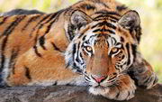 Beautiful-Tiger