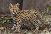 Serval-kitten