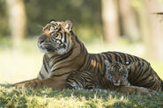Tiger and Cubs MJT 03