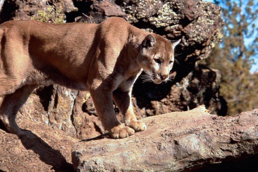mountain lion disney wiki fandom powered by wikia