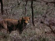31. Leopard