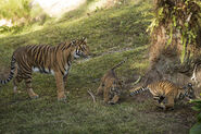 Tiger and Cubs MJT 02