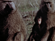 11. Olive Baboon
