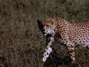 37. Cheetah