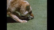 Coyote with ball