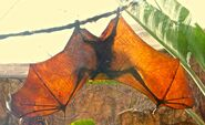 MJT Fruit Bat Wings