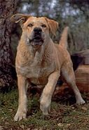 Old Yeller pic. 40