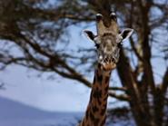 20. Giraffe