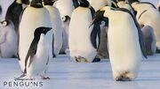 Disneynature Penguins In Theatres April 17