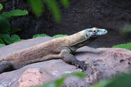 Disney-Animal-Kingdom-Komodo-Dragon-2