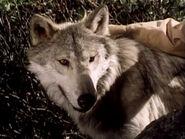 1976-wolf-04