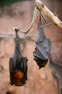 MJT Fruit Bats