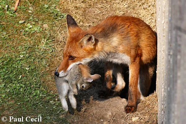 Red fox eating rabbit - photo#41