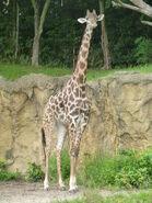 Kilimanjaro safari masai giraffe by lionkingrulez-d8v9f1r