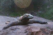 Disney-Animal-Kingdom-Komodo-Dragon