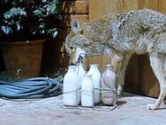 1965-coyote-4