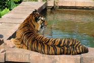 MJT Tiger 02