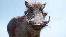 Pumbaa 2019