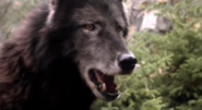 Timber Wolf 20