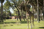 Giraffe AK Lodge 01