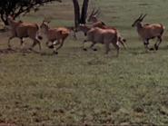 13. Common Eland